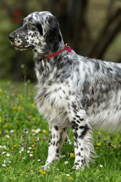 Most Beautiful Dog Breeds, Unique Dog Breeds, Beautiful Dogs, English Setter Puppies, English Dogs, Unique Animals, Unique Pets, Medium Sized Dogs Breeds, Dogs And Kids