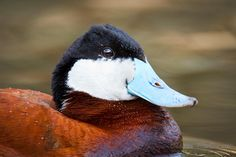 Ruddy Duck, Grandin Pond, St. Albert, Alberta