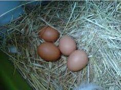 fresh laid eggs!