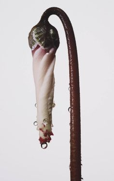 "ce-sac-contient: ""Irving Penn - Persian Violet Cyclamen/ Cyclamen persicum (New York), ca 1973 Pigment print x cm) "" Floral Photography, Still Life Photography, Photography 2017, Irving Penn Flowers, Fashion Fotografie, Flora Botanica, Wabi Sabi, Natural World, Be Still"