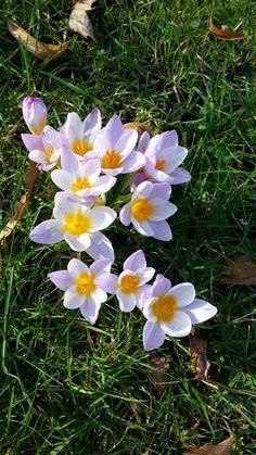 Krokus. Spring. Flowers