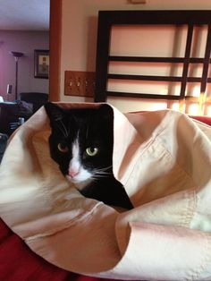 cat in a pillow case
