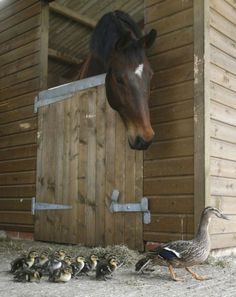 ...on the farm...horse in a stall looking at  mother and her ducklings walking by