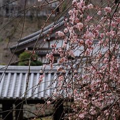 hase_dera #枝垂れ梅 が見頃を迎え、春の息吹を感じます。  It is best time to see the prickly #plum and I feel the breath of #spring. Peach blossoms are ahead.  #長谷寺 #奈良長谷寺 #総本山長谷寺 #花の御寺 #奈良 #hasedera #hasederatemple #temple #japan #japanesetraditional #japanesetemple #pilgrimage #西国 #西国三十三所 #霊場 #第八番 #札所 #巡礼 総本山長谷寺 2017/03/01 17:34:26