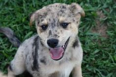 Tommy is an adoptable Australian Shepherd Dog in Alpharetta, GA. An Adoption Application for this dog can be found on our website, www.angelsrescue.org, and can be faxed or submitted online. Be sure t...