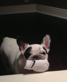 This is Cooper, the naughty French Bulldog bringing back the socks he stole a week ago ; )