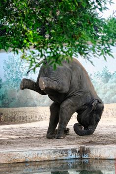 I'm not sure why this elephant is doing a headstand, it almost looks like the background is a zoo?? I would love to see this beauty free