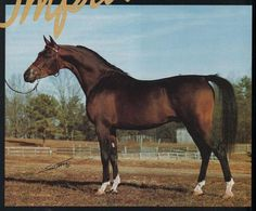 MHR IMPRESSIVE  (*Elimar x *Portulaka, by Faher) 1981 bay stallion bred by the Mekeel family
