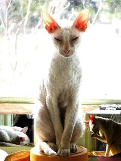 Pictures of White Cats