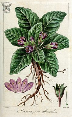 Mandrake. Mandragora officinarum [as Mandragora officinalis] Herbier général de l'amateur, vol. 8 (1817-1827)
