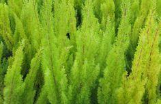 Coniferous lime green Plant Texture, Lime, Herbs, Garden, Nature, Plants, Garten, Naturaleza, Gardening