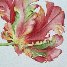 Watercolor Parrot tulip
