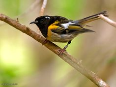 Hihi (stitchbird) at Bushy Park Trust, Kai Iwi near Wanganui, New Zealand. These native birds are very rare and have successfully been translocated to this predator free sanctuary. World Birds, Animals Of The World, Maori People, Natural Instinct, Nature Journal, Plant Species, Sea Birds, Flora And Fauna, Nature Animals