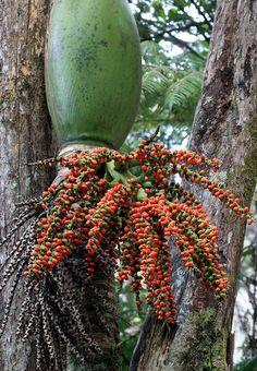 Rhopalostylis sapida nikau palm by Tonyfoster, via Flickr