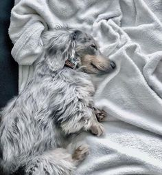 Ahh yes...per chance to dream. It's to you my heart sings. #pets #dashingdachshunds #dachshunds #dreamydoxie