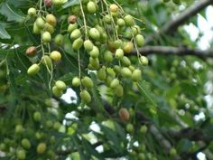 Neem seed oil is probably the most significantly important derivative from the neem tree. It has a wide spectrum of uses as an antimicrobial, and can be applied topically to fungal and bacterial skin infections.
