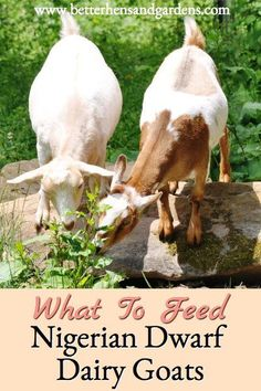 Feeding Nigerian Dwarf dairy goats involves many variables, but this explains the basics of what they need and where to start. Keeping Goats, Raising Goats, Happy Goat, Goat House, Goat Barn, Nigerian Dwarf Goats, Mini Farm, Goat Farming, Baby Goats