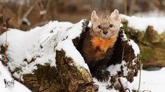 Photo by Jeff Wendorff. American Marten, Pine Marten, Science Illustration, Red Fox, Brown Bear, Predator, Animal Kingdom, Wildlife, Nature