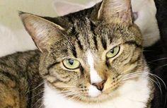 Baja-an-adoptable-male-cat-in-Georgia