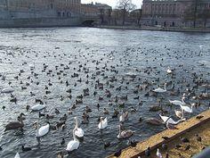 Aquí el propio ayuntamiento alimenta a los animales durante las épocas más frías (esta foto es de Febrero del 2014) Los cisnes conviven con azulones, fochas, gaviotas, porrones moñudos y gaviotas. Bird Watching, Gull, Town Hall, February, Vacation, Animals, Photos