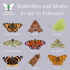 Despite the recent weather, spring is just a few weeks away and here are a handful of the butterflies and moths you could see this February 🌼 Butterfly Identification, Hummingbird Moth, Butterfly Species, Butterfly Pictures, Butterfly Art, Butterfly Illustration, Nature Posters, Garden Animals, British Wildlife
