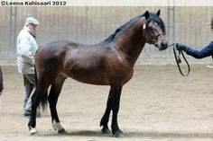 Connemara - stallion Önnarps Piaff