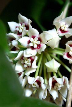 hoya calycina - adamkeshers picture ! by fracass.be, via Flickr