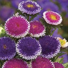 How to Plant Potted Flowers Outdoors in the Soil : Garden Space – Top Soop Unusual Flowers, Wonderful Flowers, Unusual Plants, Rare Flowers, Different Flowers, Purple Flowers, Aster Flower, Cactus Flower, Flower Seeds