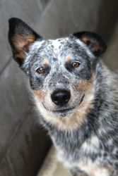Buck is an adoptable Australian Cattle Dog (Blue Heeler) Dog in Bowling Green, KY. ****Cat testing can be done upon request after the application is received.**** Adoption Fee Information Sponsor A Pe...