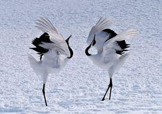 Znalezione obrazy dla zapytania żuraw startujący do lotu