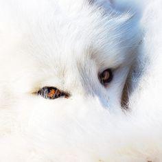 Artic fox...so beautiful