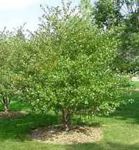 Thornless Spur Hawthorn Google Search Drought Tolerant Trees Planting Shrubs Shade