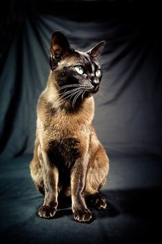 Russian Blue Cats Facts Burmese Cat - Breed Information Crazy Cat Lady, Crazy Cats, Siamese Cats, Cats And Kittens, Sphynx Cat, Best Cat Breeds, Gatos Cool, Animal Gato, Oriental Cat