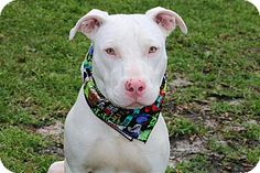 Ft Myers Beach, FL - American Staffordshire Terrier Mix. Meet Most Handsome dog in Town!!!, a dog for adoption. http://www.adoptapet.com/pet/17318774-ft-myers-beach-florida-american-staffordshire-terrier-mix