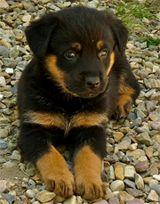 germanshepherd-puppy