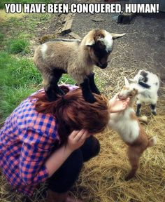 The truth about baby goats. They ALL believe they're mountain goats! Baby goats are so much fun and make good pets, just don't let them hurt you. Cute Baby Animals, Animals And Pets, Wild Animals, So Cute Baby, Cute Goats, Mini Goats, Funny Goats, Funny Sheep, Funny Farm