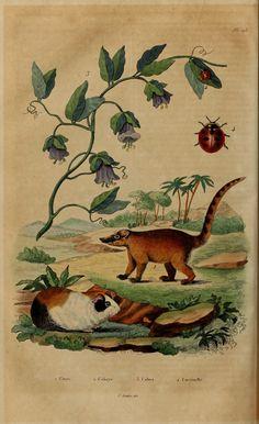 Dictionnaire pittoresque d'histoire naturelle et des phénomènes de la nature v.2  Paris,1833-[1840].  Biodiversitylibrary. Biodivlibrary. BHL. Biodiversity Heritage Library