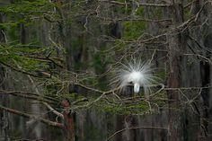 great, egret, display, mating, plumage, cypress, Louisiana photo