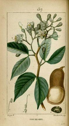 Illustration Botanique, Plant Illustration, Botanical Illustration, Impressions Botaniques, Natural Curiosities, Old Paintings, Plantar, Old Paper, Botanical Prints