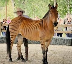 Zorse. A Zebra/Horse cross. Not a fan of Hybrids unless it is a Mule.