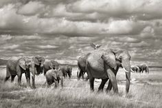 "An elephant family walking in Amboseli National Park, Kenya.</p>  <p>If you would like to join an upcoming photo safari please visit</p>  <p><a href=""http://www.southcapeimages.com"">www.southcapeimages.com</a>"