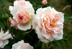 """"""" Clair de Lune """" - Moss, tea rose - Moderate, tea fragrance - John Scarman (Germany), 2005"""