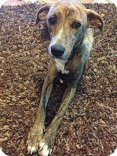 Lilah - Greyhound mix - Allentown, PA - approx. 1-2 yrs old - Adopt A Stray PA - http://www.adoptastrayrescue.org http://www.adoptapet.com/pet/9912853-allentown-pennsylvania-greyhound-mix- 26/13 Lilah is a sweet, loving girl who was dumped in the middle of nowhere, along with her 6 puppies. She did a good job of taking care...