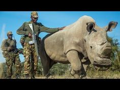 World's Last Rhino Of His Kind Comes Running When Called Sudan, and the female northern white rhinos Sudan lives with, enjoy the playful friendship they have with their constant companions.