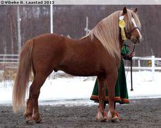 Nordland Horse / Lyngen Horse - stallion Jektviks Bragd