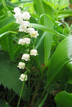 Boldoot - De Taal der Bloemen - 10. Lelietjes-van-dalen - Lily of the Valley (Convallaria majalis)