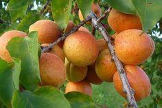 Pozitivnap - A pozitív Híre k oldala - Szomolyai cseresznye, gönci barack, szentesi naspolya - mentsük meg az őshonos gyümölcsfákat!