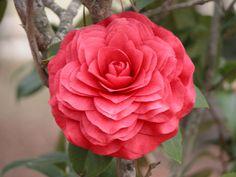 "Camellia japonica ""Flannagan"""