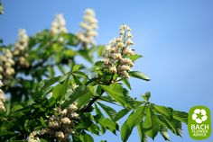 White Chestnut works perfectly for people who worry a lot, think very negative and ponder all the time. When using White Chestnut there rather negative thoughts will gradually transform in their positive counterparts. #bachflowerremedies #whitechestnut #edwardbach
