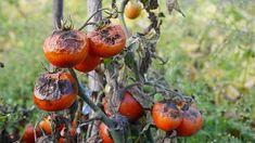 Plíseň na rajčatech Ripen Green Tomatoes, Growing Tomatoes, Water Plants, Garden Plants, Varieties Of Tomatoes, Soil Layers, Grow Bags, Powdery Mildew, Neem Oil